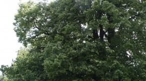 Pad készül a hársfa törzséből